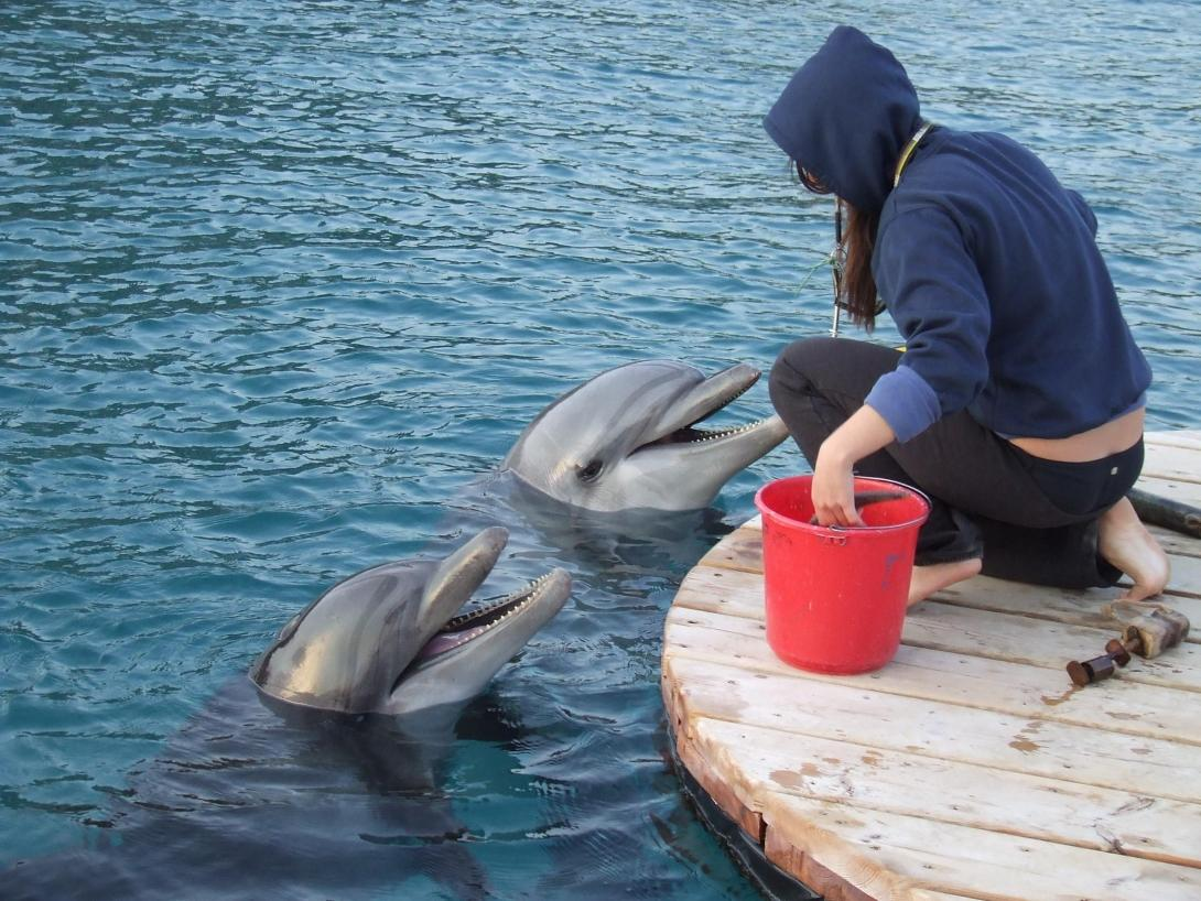 A dolphin trainer feeds dolphins after their tricks during a dolphin show